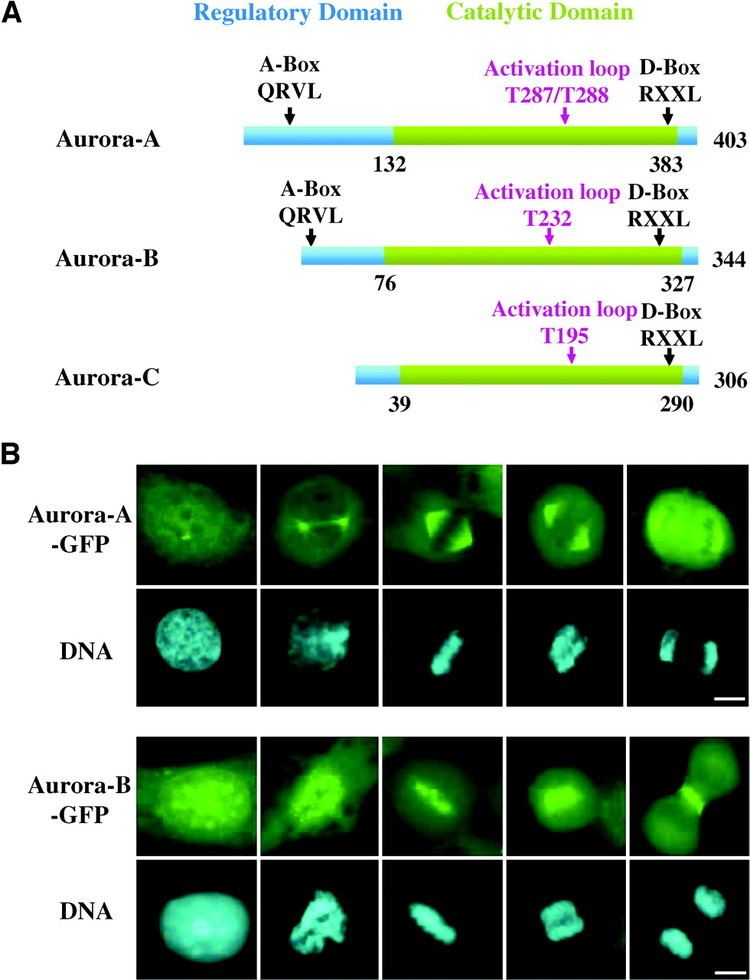 Aurora B kinase Roles of Aurora Kinases in Mitosis and Tumorigenesis Molecular