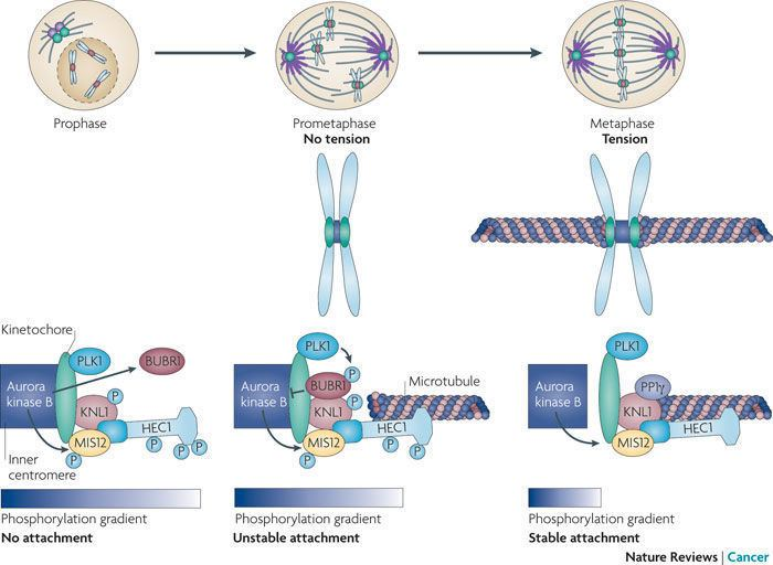 Aurora B kinase Figure 4 Shared and separate functions of pololike kinases and