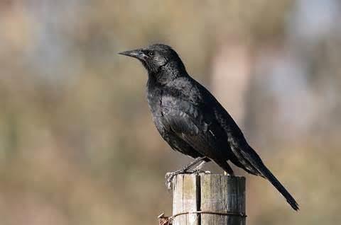 Austral blackbird More on Curaeus curaeus Austral Blackbird