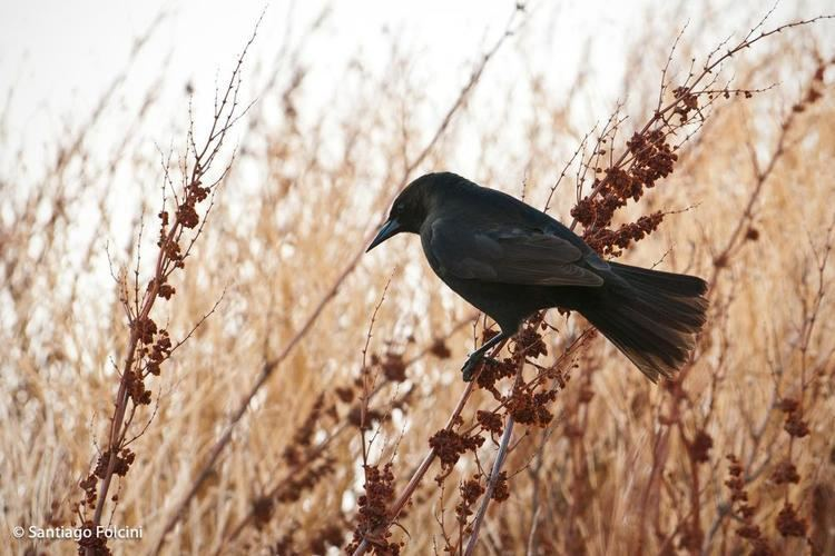 Austral blackbird Austral Blackbird Curaeus curaeus videos photos and sound