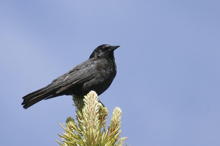 Austral blackbird Austral Blackbird Curaeus curaeus Nature Notes
