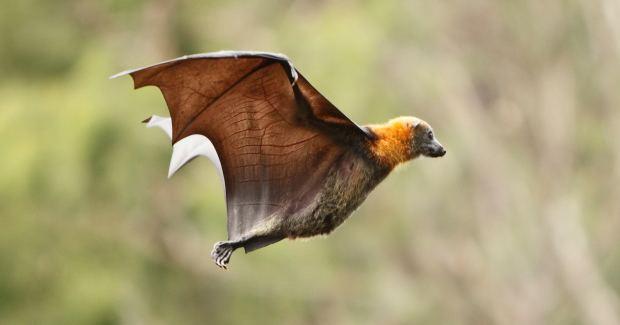 Australian bat lyssavirus Bat disease fatal to humans experts warn Australian Geographic
