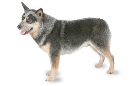 Australian Cattle Dog Australian Cattle Dog Breed Information Pictures Characteristics