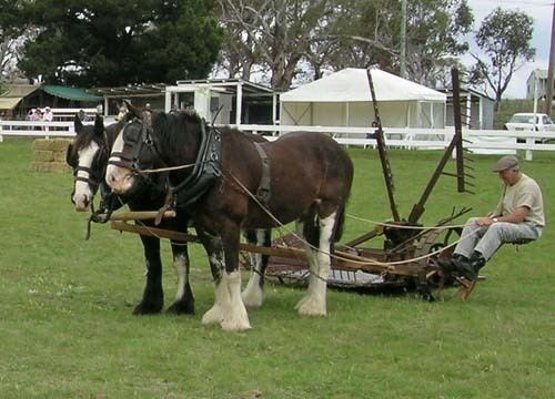 Australian Draught horse Australian Draught Horse pictures and information