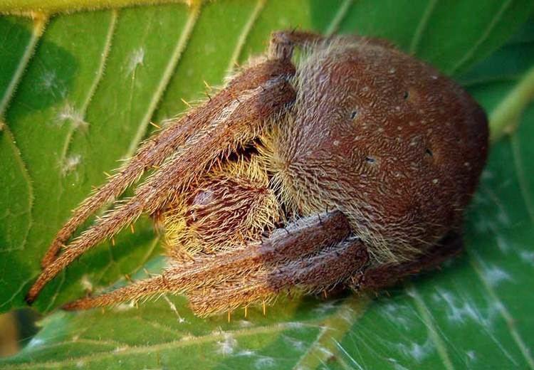 Australian garden orb weaver spider Eriophora transmarina Keyserling 1865 Garden Orb Weaver