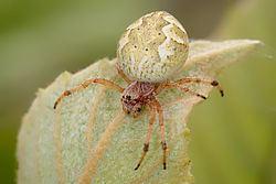 Australian garden orb weaver spider Australian garden orb weaver spider Wikipedia