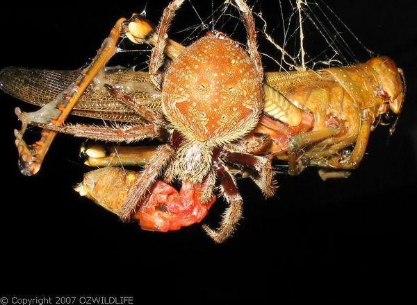 Australian garden orb weaver spider wwwozanimalscomimagealbumsaustraliaSpider20