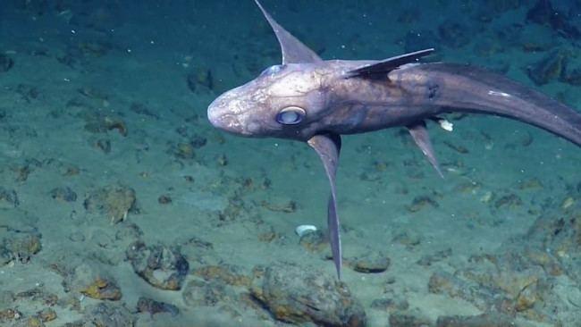 Australian ghostshark The 10 Most Bizarre Species Of Sharks