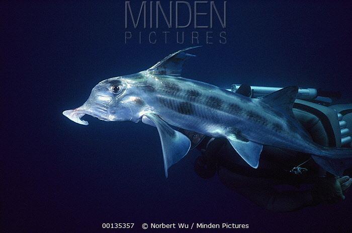 Australian ghostshark Minden Pictures stock photos Australian Ghost Shark Callorhinchus