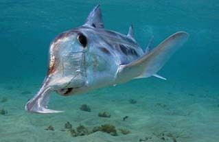 Australian ghostshark Australian Ghost Shark AKA elephant shark use their hoeshaped