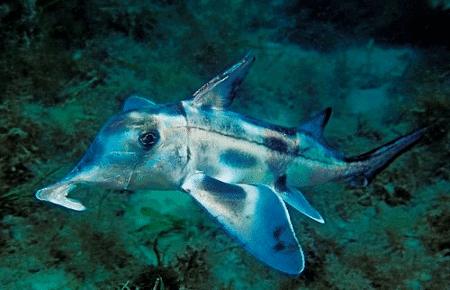Australian ghostshark Australian Ghost Shark l A chimaera Our Breathing Planet