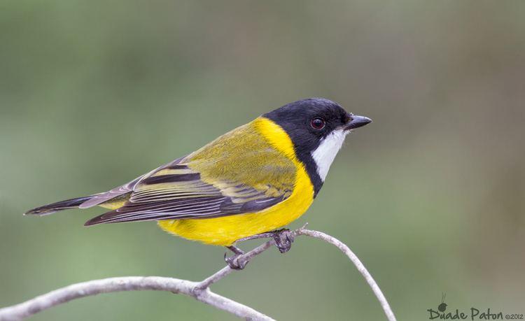 Australian golden whistler Golden Whistler Australian Bird Photography Bird Photos of