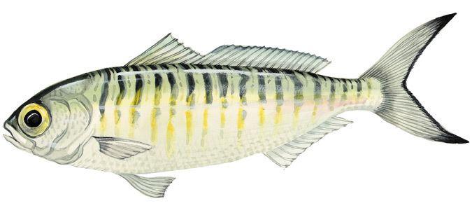 Australian herring Australian herring Tommy rough Marine and Estuarine Scale Fish