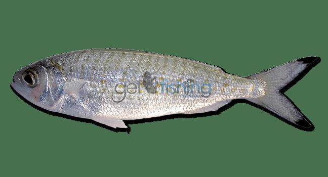 Australian herring Australian Herring Get Fishing