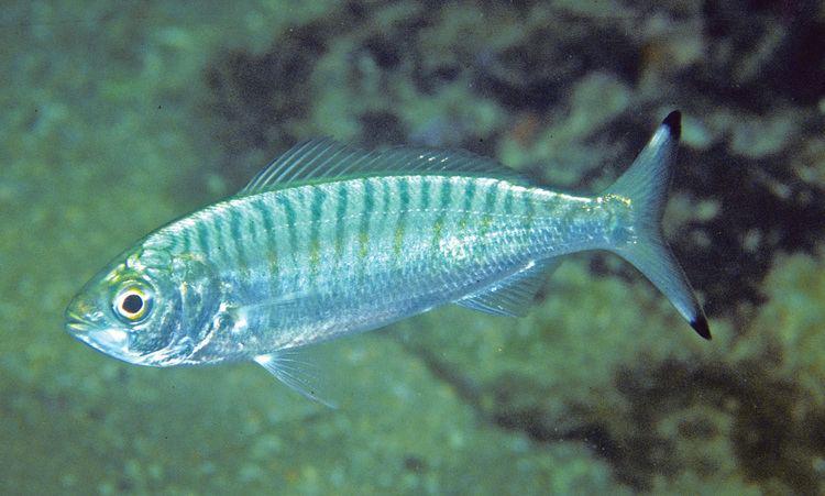 Australian herring Arripis georgianus