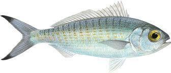 Australian herring Herring Australian