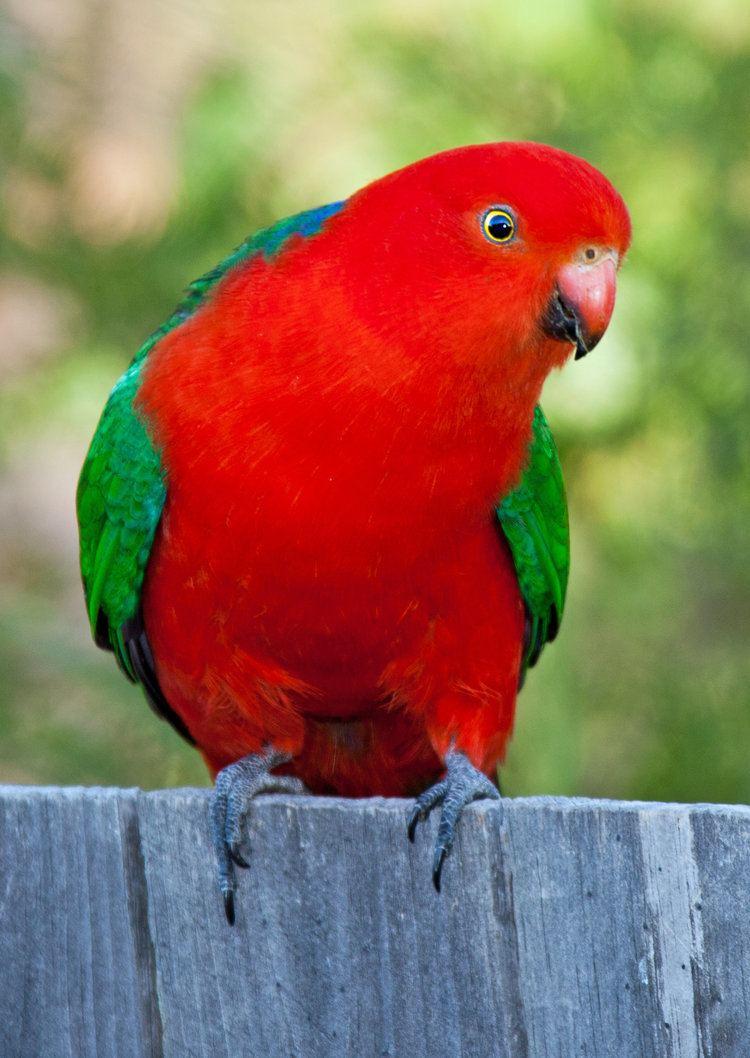 Australian king parrot Australian KingParrot Alisterus scapularis