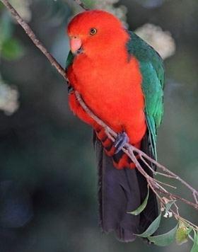 Australian king parrot wwwbirdlifeorgauimagessizedimagesuploadsbi