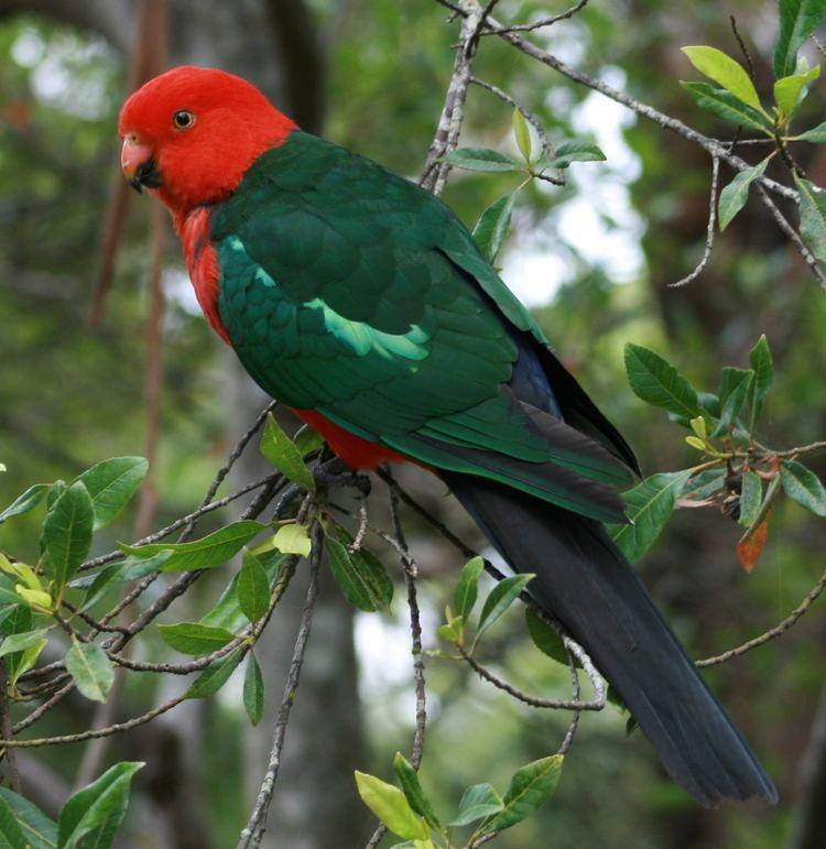 Australian king parrot FileAustralian King Parrot malejpg Wikimedia Commons