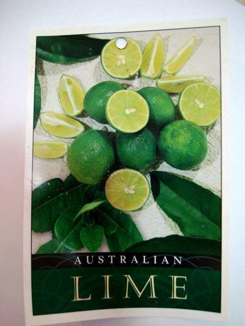 Australian lime plantdaleysfruitcomaulaustralianlimelemont