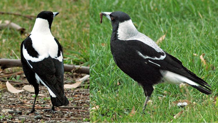 Australian magpies in New Zealand