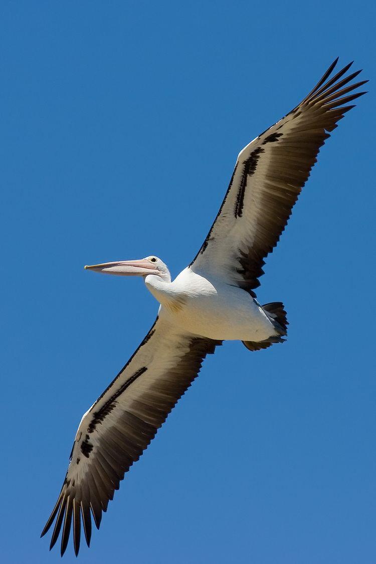 Australian pelican Australian pelican Wikipedia