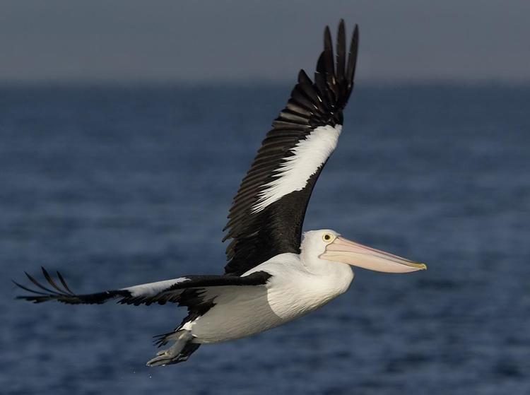 Australian pelican Australian pelican New Zealand Birds Online