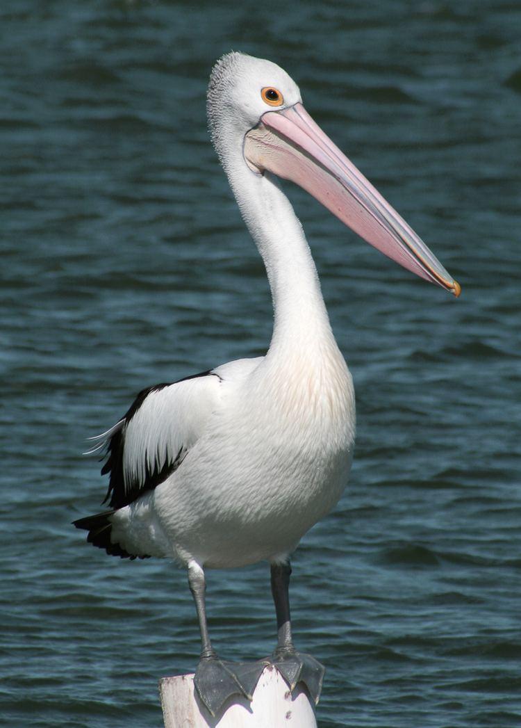 Australian pelican Australian Pelican Barwon Bluff