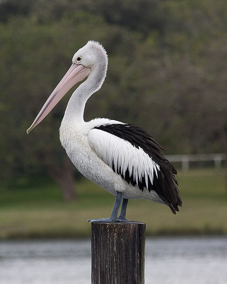 Australian pelican Australian Pelican