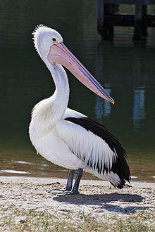 Australian pelican httpsuploadwikimediaorgwikipediacommonsthu