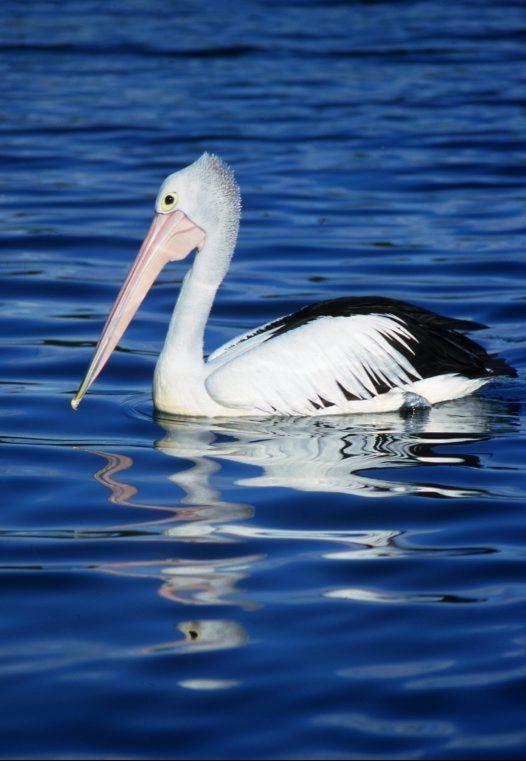 Australian pelican Australian Pelican Australian Museum