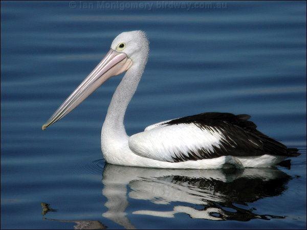 Australian pelican Australian Pelican Native Plants and animals