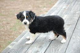 Australian Shepherd Australian Shepherd Wikipedia