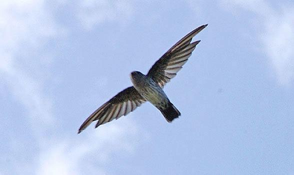 Australian swiftlet Australian Swiftlet Facts Diet amp Habitat Information