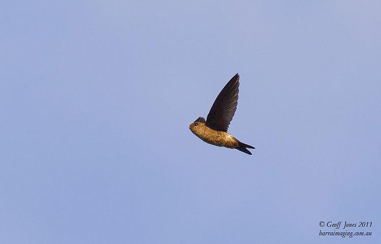Australian swiftlet Australian Swiftlet Aerodramus terraereginae Barraimaging