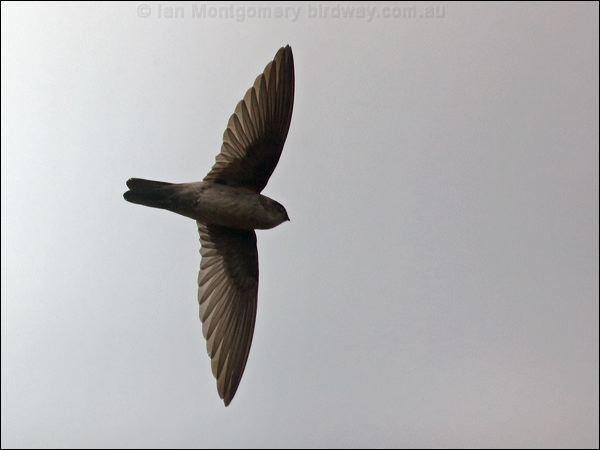 Australian swiftlet Australian Swiftlet photo image 1 of 6 by Ian Montgomery at birdway