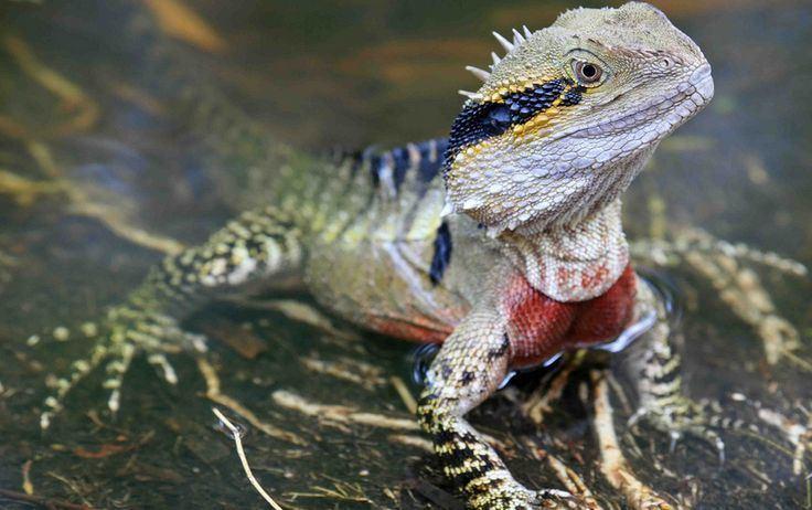 Australian water dragon - Alchetron, the free social encyclopedia