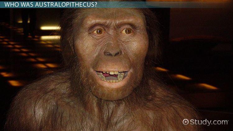Australopithecus Australopithecus Definition Characteristics amp Evolution Video