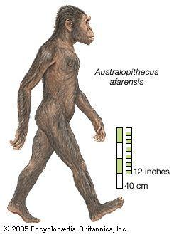 Australopithecus Australopithecus paleontology Britannicacom