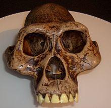 Australopithecus afarensis httpsuploadwikimediaorgwikipediacommonsthu