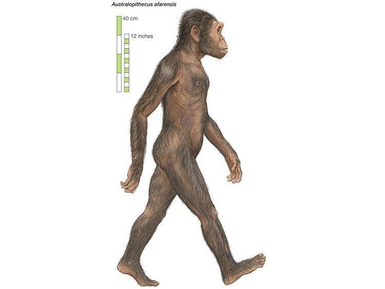 Australopithecus afarensis Australopithecus afarensis paleontology Britannicacom