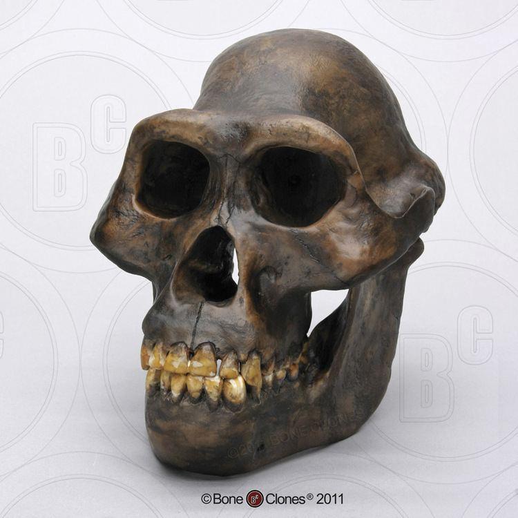 Australopithecus afarensis Australopithecus afarensis Skull Bone Clones Inc Osteological