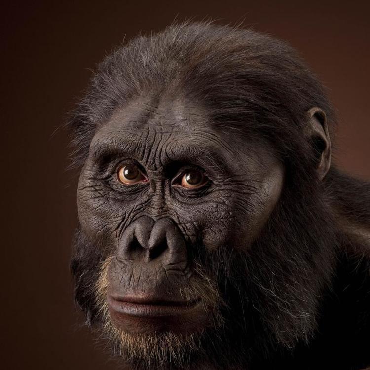 Australopithecus afarensis Australopithecus afarensis The Smithsonian Institution39s Human