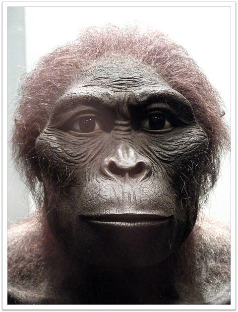 Australopithecus africanus wwwavphcombrjpgaustralopithecusafricanus2jpg