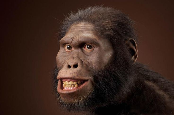 Australopithecus africanus Australopithecus played a significant part in human evolution the
