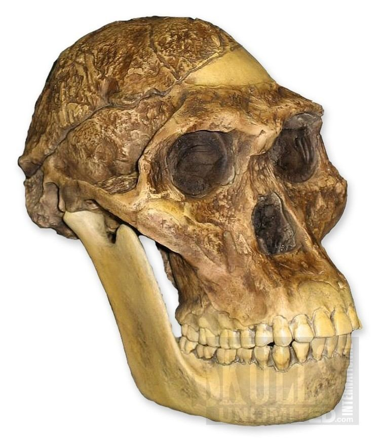Australopithecus africanus Mrs Ples STS 5 Skull and Jaw Australopithecus africanus WBH007