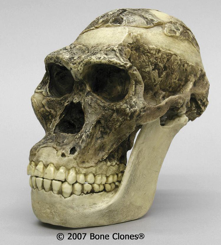Australopithecus africanus La biocronologa estimacin de la edad biolgica de la especie