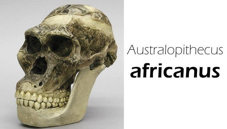 Australopithecus africanus Australopithecus africanus YouTube