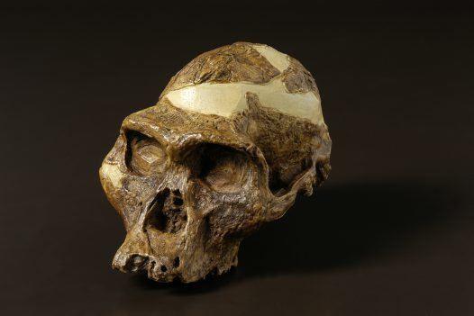Australopithecus africanus Australopithecus africanus Australian Museum