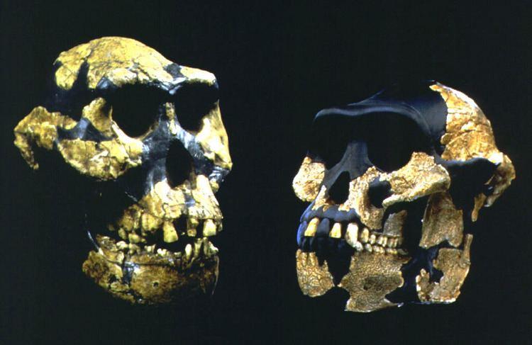 Australopithecus anamensis Australopithecus